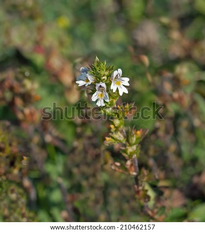 Tiny wild flower Eyebright growing on chalk downland of South Downs in Sussex - stock photo