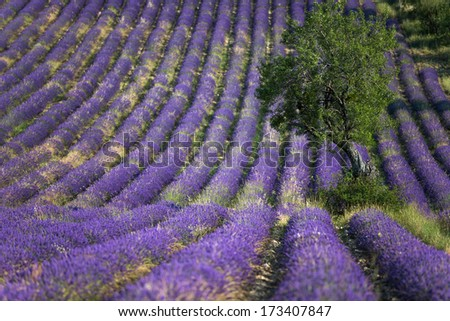 Tipical lavender field in Provence - stock photo