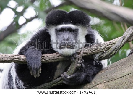 Tired and sad looking Colobus monkey perched in a tree. - stock photo