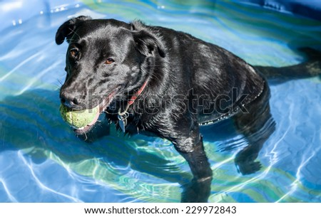 Tired black labrador retriever dog with green ball sitting and relaxing in small blue plastic pool full of water - stock photo