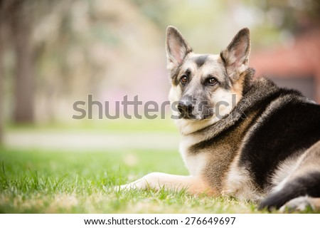 Tired German Shepherd - This is a color image of a beautiful adult male German Shepherd laying down in the grass on a cool spring day.  - stock photo