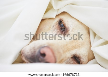 Tired labrador retriever is lying in the bed. - stock photo