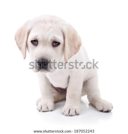 Tired Labrador retriever puppy dog isolated on white - stock photo