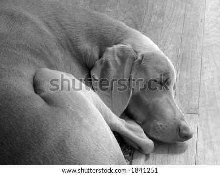 tired weim - stock photo