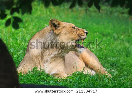 tired yawning lioness - stock photo
