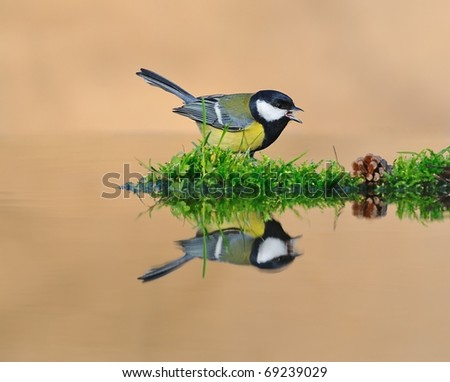 Tit drinking at the fountain. - stock photo