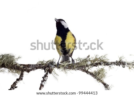 titmouse on tree branches on a white background. spring. - stock photo