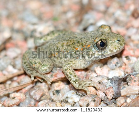 Toad.(Alytes obstetricans) - stock photo