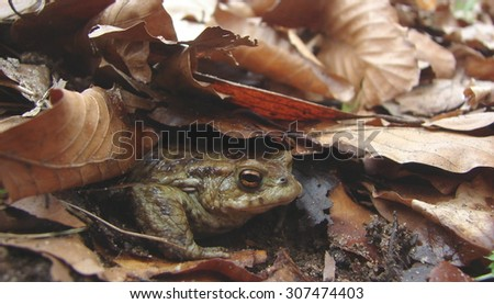 toad amongst autumn leaves - stock photo