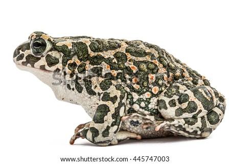 Toad green, lat. Bufo viridis, isolated on white background - stock photo