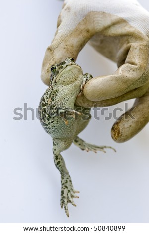 Toad in a gloved hand. - stock photo