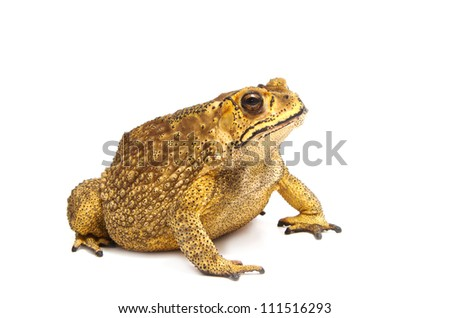 Toad Isolated - stock photo