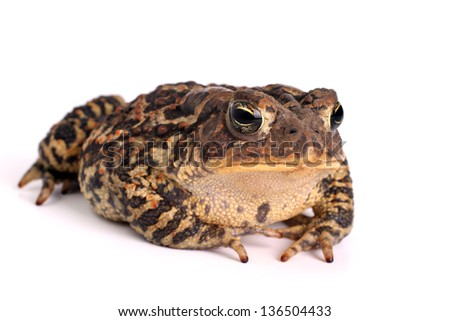 Toad Isolated on a white background - stock photo