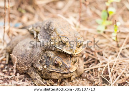 toads sex - stock photo