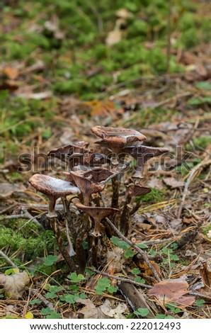 toadstool family - stock photo