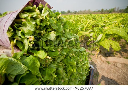 Tobacco farm. - stock photo