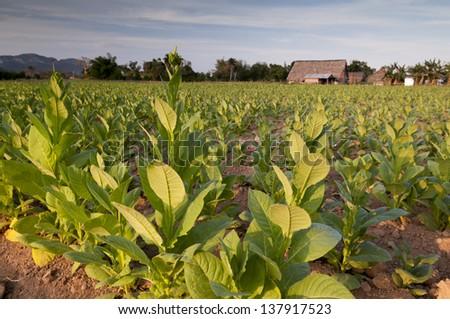 Tobacco field in cuban village Vinales, Cuba. - stock photo