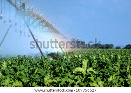 Tobacco field with Irrigation equipment - stock photo