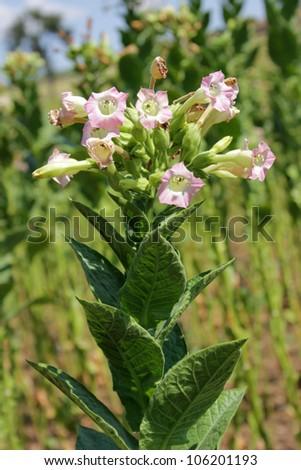 tobacco fields - stock photo