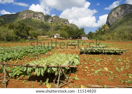 tobacco leaf drying in vinales valley cuba - stock photo