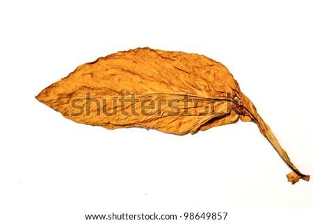 tobacco leaf form garden of thailand - stock photo