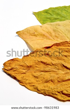 tobacco leaf from garden of thailand - stock photo