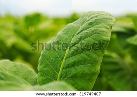 Tobacco leaf in blurred tobacco plantation field background, Germany - stock photo
