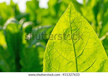 Tobacco leaf on blurred tobacco plantation sunny field background, Germany - stock photo