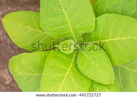 Tobacco leaf plant  - stock photo