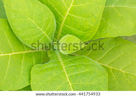 Tobacco leafs, top view.  Fresh natural young tobacco plants in tobacco plantation field, close up - stock photo