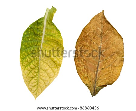 tobacco leaves isolated on white background - stock photo