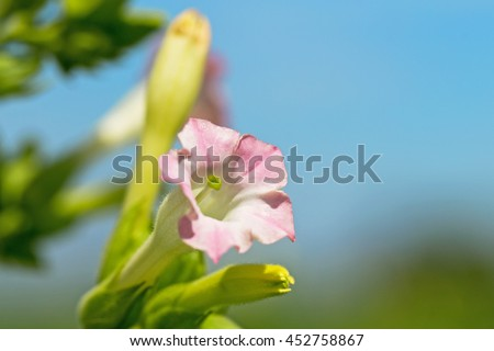 Tobacco pink flower on blurred tobacco plantation field and blue sky background - stock photo