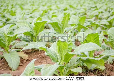 Tobacco plantation - stock photo