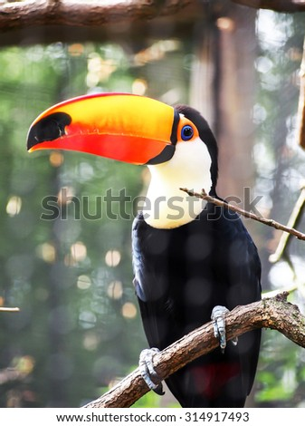 tocan nature siting on tree - stock photo
