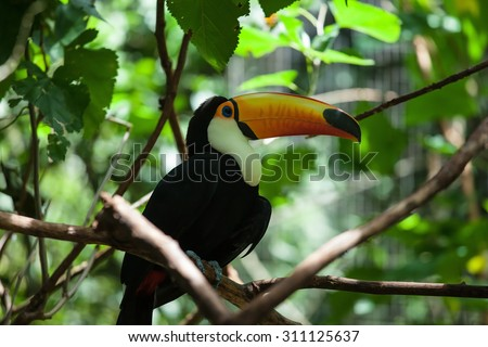 Toco toucan in the reserve of exotic tropical birds. Large bird with bright plumage and a huge yellow beak - stock photo