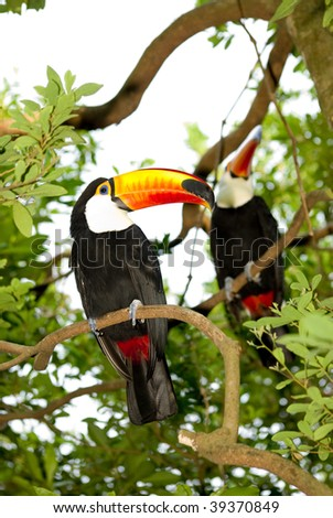 toco toucan rest on tree - stock photo