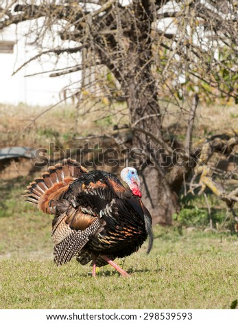 Tom turkey strutting looking for a mate in the spring - stock photo