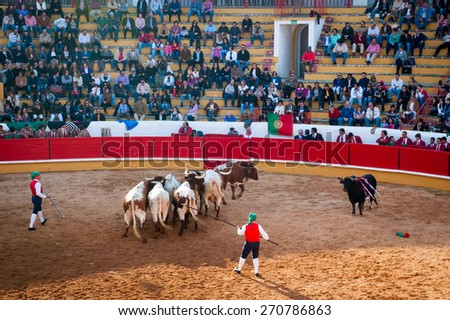 TOMAR, PORTUGAL - OCTOBER 24: Focadors taking the bull out of the bullfight arena with the help of the oxes after the bullfighting in Tomar on October 24, 2010 - stock photo