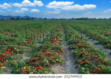 tomato field on summer day - stock photo