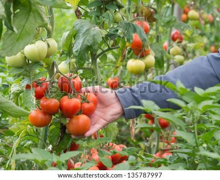 tomato greenhouse - stock photo