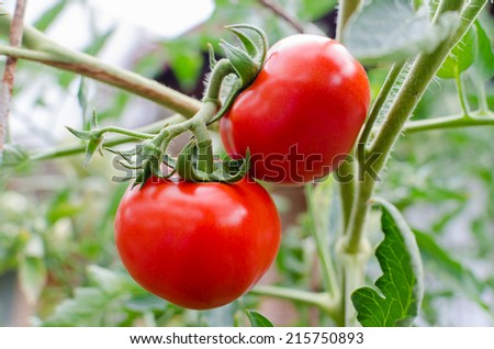 Tomato grown in the organic garden. - stock photo