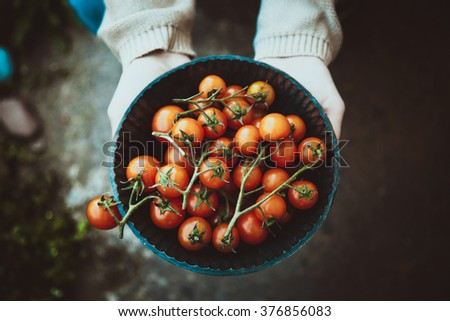 Tomato harvest. Farmers hands with freshly harvested tomatoes. - stock photo