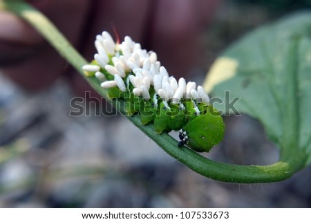 Tomato hornworm parasitized by a small braconid wasp, Cotesia congregatus. - stock photo