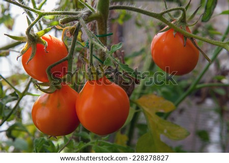tomato on a bed - stock photo
