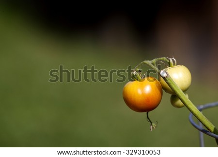 Tomato on the vine morning dew Canada - stock photo