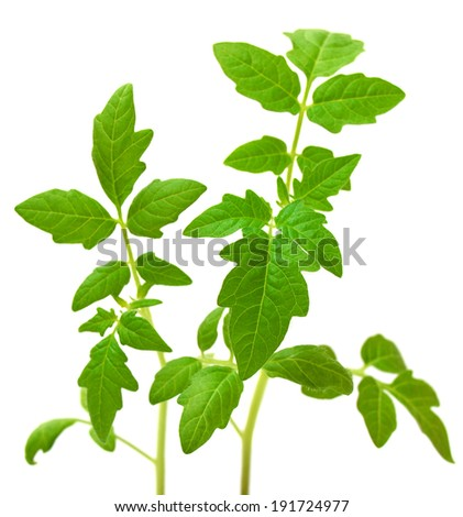 Tomato plant in a peat pot isolated on white background - stock photo