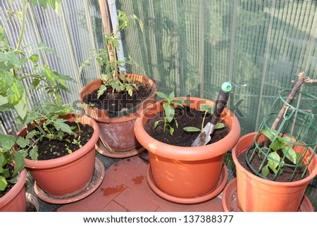 tomato plant in a pot grown in the terrace of the apartment - stock photo