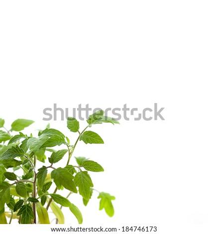 Tomato plant on white background - stock photo
