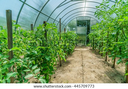 tomato plants in the greenhouse - stock photo