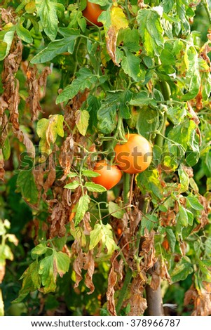 Tomato plants with ripe fruit hanging in a garden. - stock photo